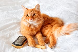 Ginger Cat Lies On Bed With Grooming Comb. The Fluffy Pet Comfor